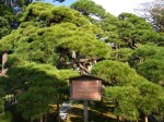 The 300 Year Pine